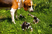 Estonian hound with its two-day-old puppies — Stock Photo