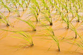 Field of rice, Cambodia, macro — Stock Photo