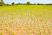 Field of rice, Cambodia — Stock Photo