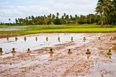 Bundles of rice seedlings on the field, Kep, Cambodia — Stock Photo