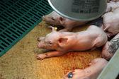 Piglets in stable — Foto de Stock