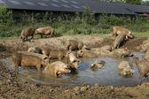 Pigs pool — Stock Photo