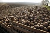 Patato crops — Stock Photo