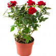 Rose Flower growing in the Pot. Gardening - Stock Photo
