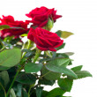 rose flowers — Stock Photo