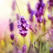 Lavender Field — Stock Photo #12802875
