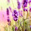 Lavender — Stock Photo #12802884