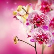 Orchid Flower — Stock Photo #12803016