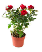 Rose Flower growing in the Pot. Gardening — Stock Photo