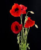 Red Poppy Flower Isolated on Black — Stock Photo