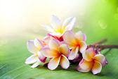 Fiore di frangipani spa tropicale. plumeria — Foto Stock