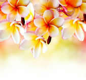 Flor de frangipani tropical spa. diseño de frontera plumeria — Foto de Stock