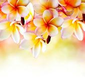 Frangipani tropikal spa çiçek. plumeria sınır tasarlamak — Stok fotoğraf