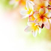 フランジパニ トロピカルスパ花。プルメリア ボーダー設計 — ストック写真