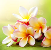 Frangipani Tropical Spa Flower. Plumeria — Stock fotografie