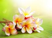 Fleur de frangipanier de spa tropical. plumeria — Photo