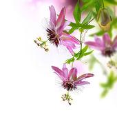 Flor de passiflora — Foto de Stock