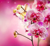 Orchid Flower — Foto Stock