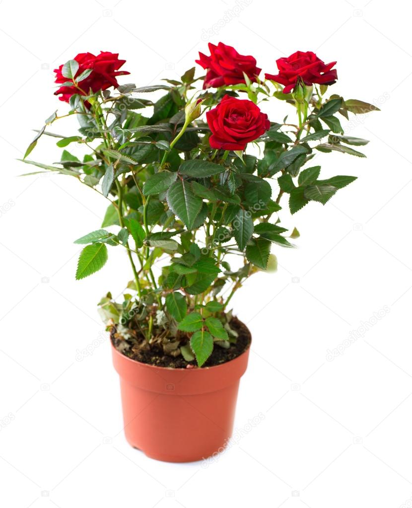 Rose Flower growing in the Pot. Gardening — Stock Photo #12802375
