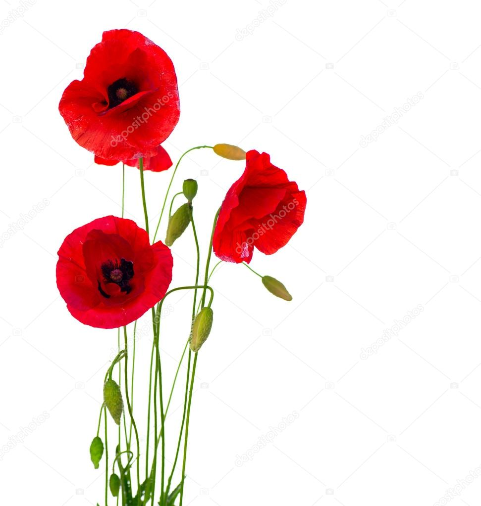 Фотообои Red Poppy Flower Isolated on a White Background
