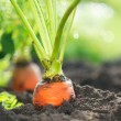 Organic Carrots. Carrot Growing Closeup - Foto de Stock