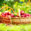 Organic Apples in the Basket. Orchard. Garden — Stock Photo #14134324