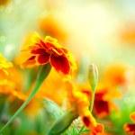 Tagetes Marigold Flower. Autumn Flowers Background — Stock Photo