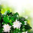 Gardenia Flowers. Jasmine  — Stock Photo