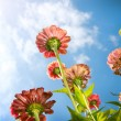 Flowers Over Blue Sky. Zinnia flower. Autumn Flowers — Stock Photo