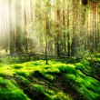 Misty Old Forest  — Stock Photo