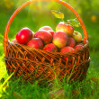 Organic Apples in the Basket. Orchard. Garden - Stock Photo