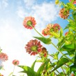 Stock Photo: Flowers Over Blue Sky. Zinnia flower. Autumn Flowers