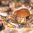 Cep Mushroom Growing in Autumn Forest. Boletus - Photo