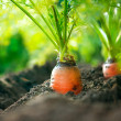 Organic Carrots. Carrot Growing Closeup — Stock Photo #14134545
