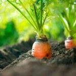 Organic Carrots. Carrot Growing Closeup — Stock Photo