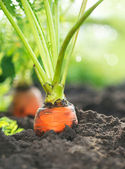 Organic Carrots. Carrot Growing Closeup — Stock Photo