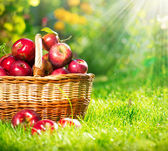 Organic Apples in the Basket. Orchard. Garden — Foto de Stock