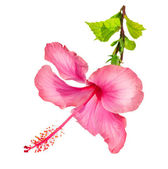 Flor de hibisco — Foto Stock