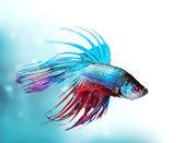 Colorful Betta Fish closeup. Dragon Fish. Aquarium — Stock Photo