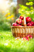Organic Apples in the Basket. Orchard. Garden — Stock Photo