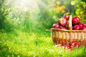 Ekologiska äpplen i korgen. orchard. trädgård — Stockfoto