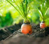 Organické mrkev. rostoucí closeup mrkev — Stock fotografie