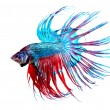 Betta Fish closeup. Colorful Dragon Fish - Stock Photo