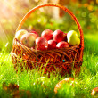 Organic Apples in the Basket. Orchard.  — Stock Photo