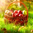 Organic Apples in the Basket. Orchard. - Stock Photo