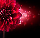Dahlia Flower Design over Black Background — Stock Photo