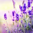 Lavender Field — Stock Photo #24592723