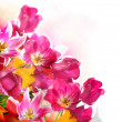 Stock Photo: Spring Flowers over white. Tulips bunch