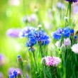 Cornflowers. Wild Blue Flowers Blooming. Closeup Image  — Stock Photo
