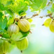 Stock Photo: Gooseberry. Fresh and Ripe Organic Gooseberries Growing